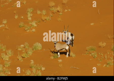 Two Oryx on the slope of a Sand Dune - Stock Photo