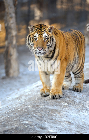 Siberian Tiger at the Siberian Tiger Park, Harbin, Heilongjiang Province, China - Stock Photo