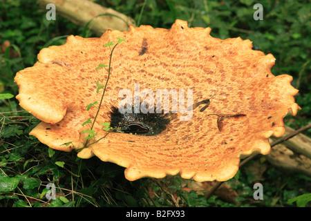 Dryad's Saddle Fungi (Polyporus squamosus) - Stock Photo