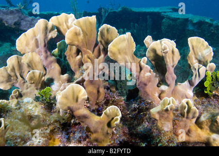 Blade Fire Coral growing on a shipwreck Florida Keys - Stock Photo