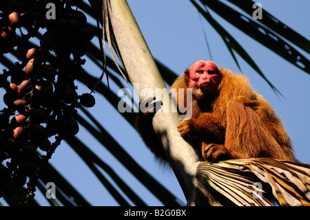 RED UAKARI MONKEY Cacajao calvus ucayalii WILD - Stock Photo