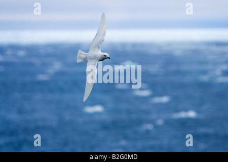 Snow Petrel, Pagodroma nivea flying over the the Southern Ocean Antarctica - Stock Photo