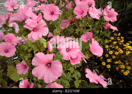 Rose Mallow.. Lavatera trimestris.. during the summer months at Prescott Park in Portsmouth New Hampshire USA - Stock Photo