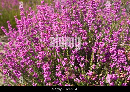 A clump of blossoming Bell Heathers (Erica cinerea), Touffe de Bruyère cendrée (Erica cinerea) en fleurs. - Stock Photo