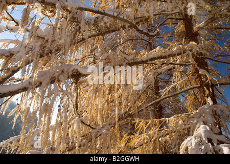 autumnal coloured larches freshly snow covered schwaebische alb germany - Stock Photo
