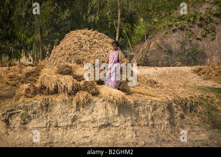 A villager on the edge of the Sunderbans National Park literally makes hay while the sun shines. - Stock Photo
