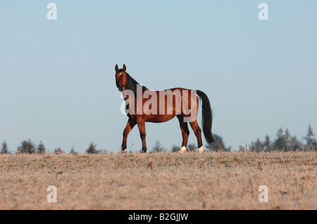 Altwuerttemberger Stute Wuerttemberger Warmblut Warmblutpferd German Wuerttemberg Warmblood Horse - Stock Photo