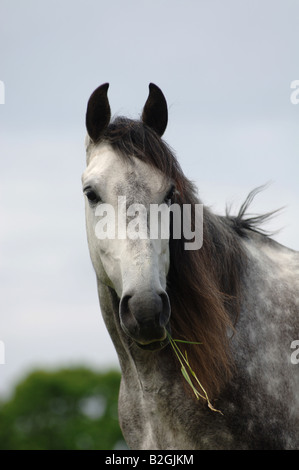 mildew portrait andalusian horse Equus ferus caballus - Stock Photo