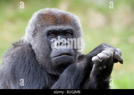portrait Western Lowland Gorilla gorilla gorilla old world monkeys - Stock Photo