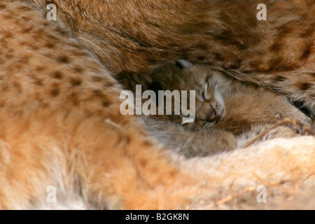 eurasian lynx dam catkin mother love close up Lynx lynx cuddling bavaria germany - Stock Photo