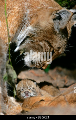eurasian lynx dam catkin mother motherly love close up Lynx lynx cuddling bavaria germany - Stock Photo