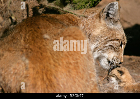 eurasian lynx dam catkin mother motherly love close up Lynx lynx cuddling bavaria germany pair couple - Stock Photo