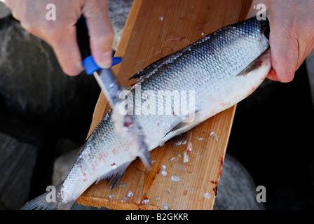 fish scale powan whitefish vendace - Stock Photo