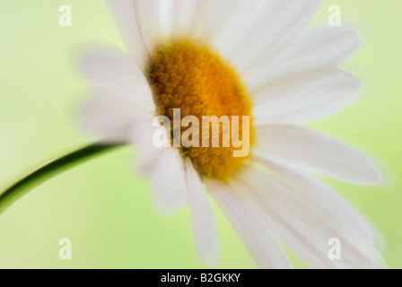 oxeye daisy Leucanthemum vulgare flowering plant bloom blossom blooming still stills background backgrounds patterns - Stock Photo