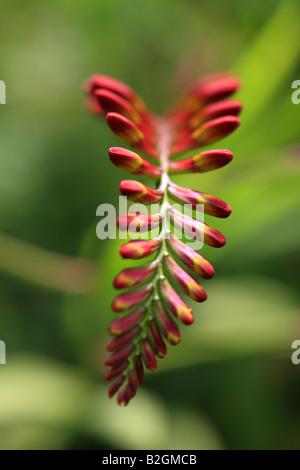 'Crocosmia' 'Lucifer' flower plant gardening macro close-up 'red' - Stock Photo