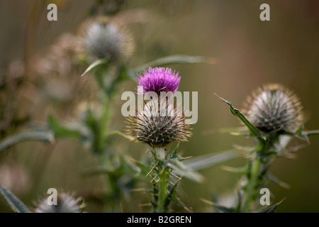 purple flowering spear thistle cirsium vulgare growing in a field county down northern ireland - Stock Photo
