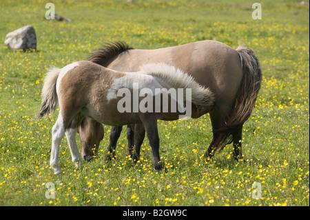 Shetland Pony mare and foal suckling, Unst, Shetland Isles, Scotland, UK - Stock Photo