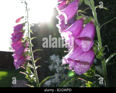 Foxgloves(Digitalis purpurea.) blooming in an English country garden dried leaves & seeds are used to make a cardiac - Stock Photo