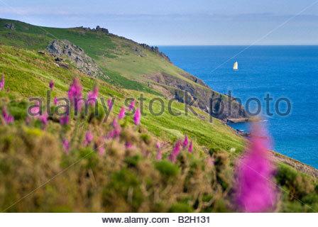 Foxgloves on the hillside near Soar Mill Cove, South Hams, South Devon, England. - Stock Photo