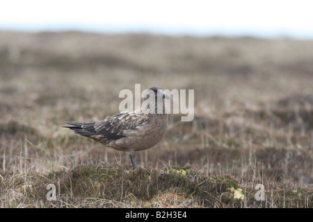 ARCTIC SKUA Stercorarius parasiticus STANDING ON MOORLAND SIDE VIEW - Stock Photo