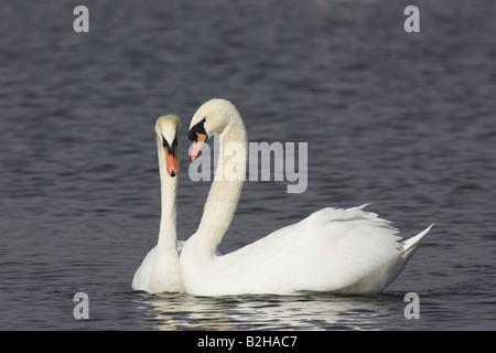 pair flirting couple Mute Swan cygnus olor europe lake bird - Stock Photo