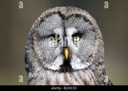 Bartkauz strix nebulosa European Grey Owl - Stock Photo