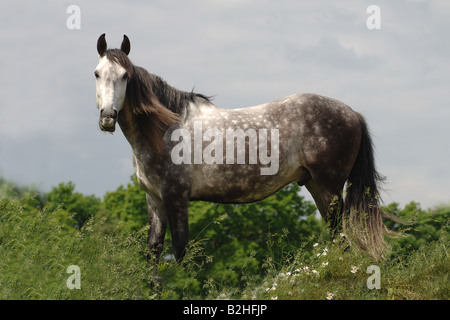 Andalusian Purebred Spanish Horse Pre breed horse - Stock Photo
