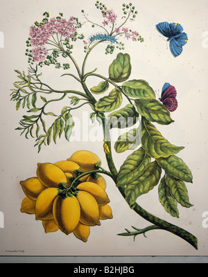 zoology, insect, butterfly, caterpillar, cocoon, blooming plant, copper engraving, watercoloured, from 'Metamorphosis - Stock Photo