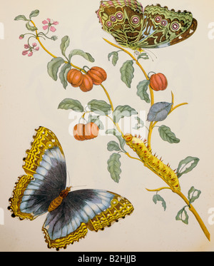 zoology, insect, butterfly, caterpillar, blooming bush, copper engraving, watercoloured, from 'Metamorphosis insectorum - Stock Photo