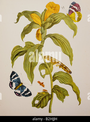 zoology, insect, butterfly, caterpillar, blooming plant, copper engraving, watercoloured, from 'Metamorphosis insectorum - Stock Photo