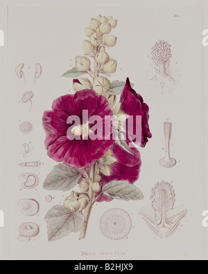 botany, flowers, Alcea, common hollyhock (Alcea rosea, Althaea rosea), lithograph, coloured, from 'Darstellung und - Stock Photo