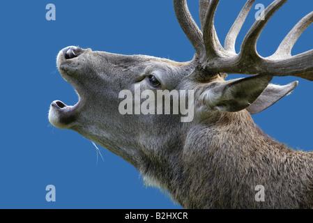 rotwild cervus elaphus red deer bell belling - Stock Photo