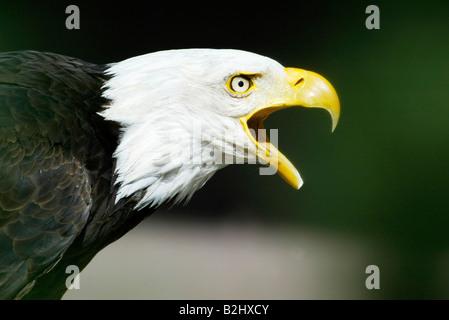 weisskopfseeadler haliaeetus leucocephalus bald eagle - Stock Photo