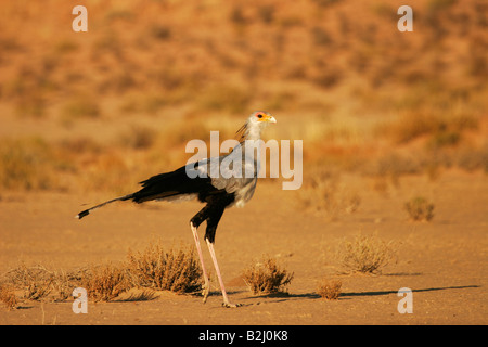 Secretary Bird Sagittarius serpentarius bird of prey raptor - Stock Photo