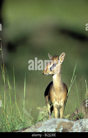 zoology / animals, mammal / mammalian, antelope, Kirk's Dik-dik (Madoqua kirkii), Masai Mara, Kenya, distribution: - Stock Photo