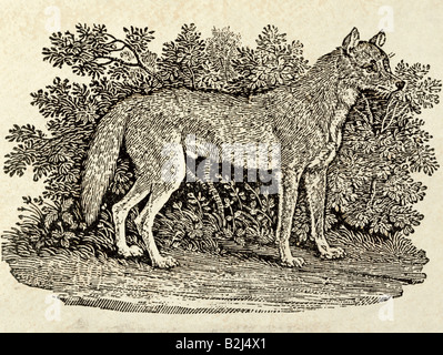 zoology / animal, mammal / mammalian, wolfs, Grey Wolf (Canis lupus), graphic, 'The Wolf', wood engraving, from - Stock Photo