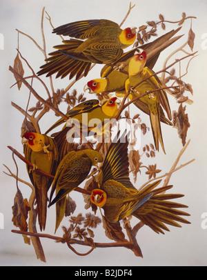 zoology, birds, Carolina Parakeet (Conuropsis carolinensis), Aquatinta, 'The Birds of America' by John James Audubon, 1827 - 1838, private collection, Washington DC, ,