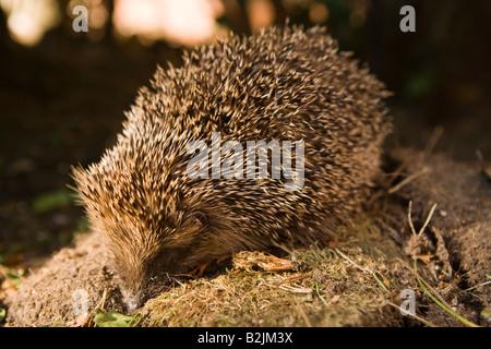 UK wildlife England hedgehog in domestic garden - Stock Photo