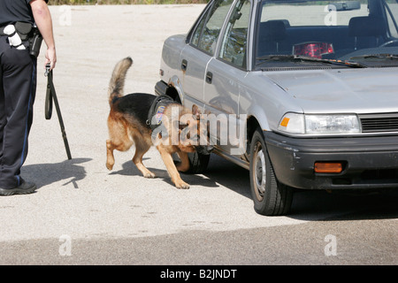 A police dog searching for drugs on an old car - Stock Photo