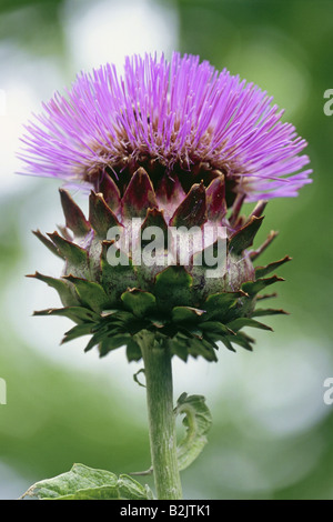botany, Globe Artichoke (Cynara scolymus), blossom, Additional-Rights-Clearance-Info-Not-Available - Stock Photo