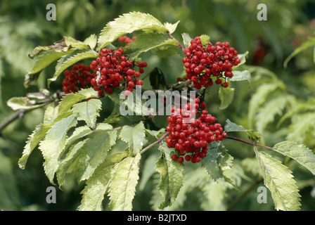 botany, Elderberry, (Sambucus), European Red Elder, (Sambucus racemosa), fruits, at branch, Additional-Rights-Clearance - Stock Photo