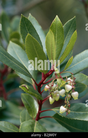 botany, Strawberry Tree (Arbutus unedo), bloom at branch, Additional-Rights-Clearance-Info-Not-Available - Stock Photo