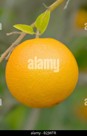 great image of juicy orange on a tree or bush - Stock Photo