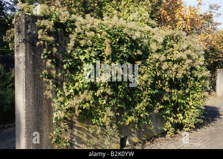 botany, Clematis, 'Clematis vitalba', infructescence, on wall, Additional-Rights-Clearance-Info-Not-Available - Stock Photo