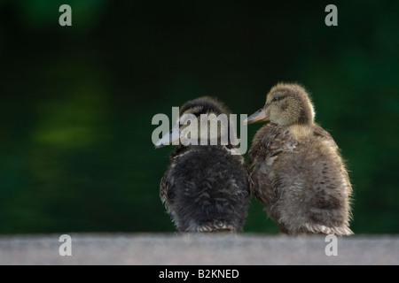 Two Mallard ducklings Anas Platyrhynchos sitting on edge of pond against a green background Verulamium Park St Albans - Stock Photo