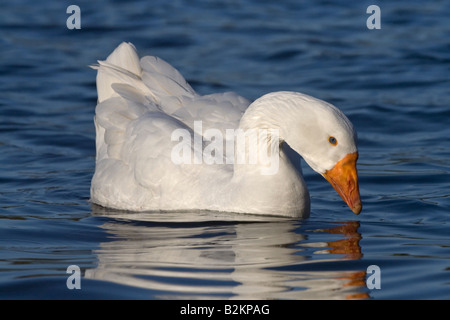 White Emden goose anser anser domesticus Verulamium Park St Albans UK - Stock Photo
