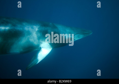 Dwarf Minke Whale Balaenoptera acutorostrata Great Barrier Reef Australia underwater - Stock Photo