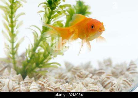 Goldfish and Elodea (Anacharis) - Stock Photo