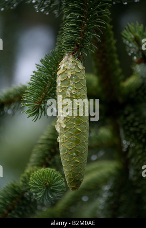 Norway Spruce cone in Gatlinburg Tennessee - Stock Photo