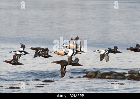 Steller s Eider Polysticta stelleri males and females in flight - Stock Photo
